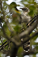 Young Indian cuckoo, Cuculus micropterus, sitting in a tree, Guangshui, Hubei province, China