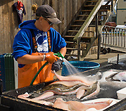 """A worker fillets and sprays a halibut, which is a flatfish, genus Hippoglossus, from the family of the right-eye flounders (Pleuronectidae). In Alaska, the town of Homer claims to be the """"halibut fishing capital of the world."""" Village nicknames include """"Homer - a quaint little drinking village with a fishing problem"""" [bumper sticker] and """"the end of the road."""" Homer is the southernmost town on the contiguous Alaska highway system. Homer is at the end of Sterling Highway (part of Alaska Route 1) on Kenai Peninsula, on the shore of Kachemak Bay, Alaska, USA."""