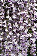 Purple Japanese Wisteria (Wisteria floribunda) spring flowers
