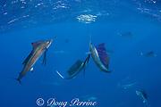 Atlantic sailfish, Istiophorus albicans, attacking bait ball of Spanish sardines (aka gilt sardine, pilchard, or round sardinella ), Sardinella aurita, off Yucatan Peninsula, Mexico ( Caribbean Sea ); center fish is lit up in excited color phase