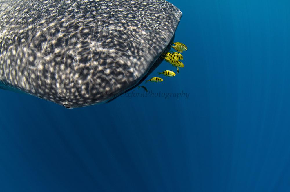 Whale Shark (Rhincodon typus) & Golden Trevally (Gnathanodon speciosus)<br /> Cenderawasih Bay<br /> West Papua<br /> Indonesia