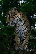 jaguar, Panthera onca (captive), Belize, Central America