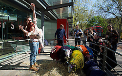 Multi-coloured sheep travelled from Suffolk to London to perform with dancers, Shaun Dillon and Kim Collins, in front of Sadler's Wells, London, Great Britain (SEE EMBARGO)<br /> 21st April 2015 <br /> <br /> THESE IMAGES ARE EMBARGO'D UNTIL 0001 HRS ON THURSDAY 23.04.15 <br /> <br /> Latitude is the UK's largest multi-arts festival, for the eighth year running Sadler's Wells will present a dance programme at the festival 16th – 19th July 2015 in Henham Park Suffolk. <br /> <br /> Dancers Names: Shaun Dillon and Kim Collins<br /> The Latitude Sheep were transported to London From Suffolk by Easton & Otley Agricultural College. Easton & Otley Agricultural College experienced livestock handlers who looked after the sheep during the photo call and the sheep were not harmed in any way. The sheep are returning to their home in Suffolk today and will be at the festival from 16th July.<br /> <br /> <br /> Photograph by Elliott Franks <br /> Image licensed to Elliott Franks Photography Services