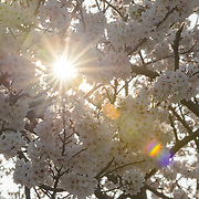 Japanese Cherry Blossoms in bloom in Shinjuku Goen National Park, Tokyo with lens flare