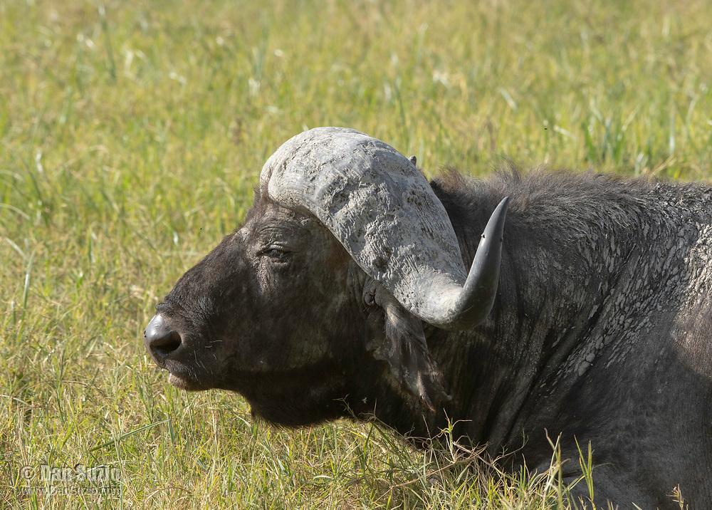 Cape Buffalo, Syncerus caffer caffer, in Ngorongoro Crater, Ngorongoro Conservation Area, Tanzania