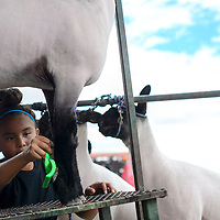 Aniyah Dahozy combs the legs of her sheep before the market show Friday at the Bi-County Fair in Prewitt.