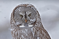Snow covered, Great Grey Owl, spring, snowstorm, Jackson Hole, Wyoming