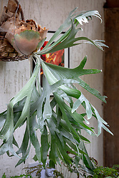 Staghorn fern in a conservatory