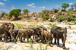 A herd of elephants on a mission to the water hole of a nearly dry Kruger National Park river.