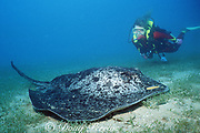 diver observes black-blotched stingray, Taeniurops meyeni ( formerly Taeniura meyeni or Taeniura melanospilos ), ( aka marbled ray or round ribbontail ray ) near wreck of the Yongala, off Townsville, Queensland, Australia MR 208