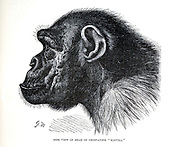 Side view of the Head of Chimpanzee Mafuka From the book ' Royal Natural History ' Volume 1 Edited by  Richard Lydekker, Published in London by Frederick Warne & Co in 1893-1894