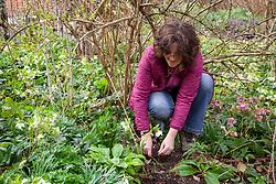 Layering a shrub - winter flowering honeysuckle. Lonicera