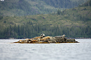 Harbor seals resting on rocks at haul-out