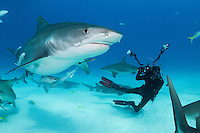Shark Paparazzo, Dive Hibberd, and Tiger Shark<br /> <br /> Shot in Bahamas