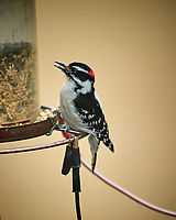 Downy Woodpecker. Image taken with a Nikon D5 camera and 600 mm f/4 VR lens (ISO 1600, 600 mm, f/4, 1/250 sec)