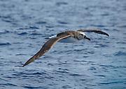 Grey-headed albatross, Drake Passage