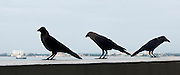 Malaysia, Penang. E&O - the Eastern & Oriental Hotel. Happy hour. Ravens waiting to grab a complimentary bite.