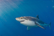 Great White Shark (Carcharodon carcharias) photographed in Guadalupe Island, Mexico. Located in the Eastern Pacific offshore Baja, Guadalupe attracts white sharks from approximately June through December. Males are first to arrive, followed later in the year by females.