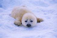New born Harp Seal pup, Pagophilus groenlandicus, White Sea, Russia, Arctic
