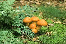 Prachtvlamhoed, Gymnopilus junonius
