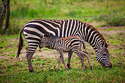 Plains zebra (Equus) Female nursing juvenile, Serengeti National Park, Tanzania, Africa