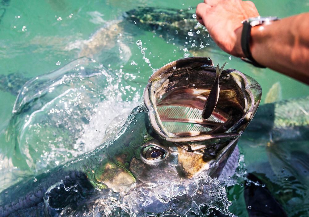 Fly fishing for tarpon off Islamorada Florida in April of 2013.