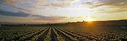 Sunset over Oregon Vineyard