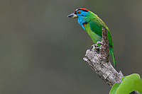 Blue-throated barbet bird, Megalaima asiatica, sitting on a branch in Tongbiguan nature reserve, Dehong Prefecture, Yunnan Province, China