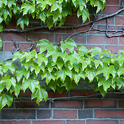 Vines on the wall of a brick home on Beacon Hill, the historic neighborhood