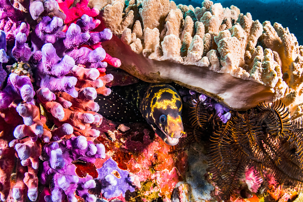 An unidentified moray eel in colorful coral off Flores, Indonesia.