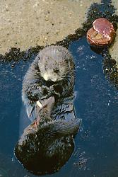 Sea Otter / Otters
