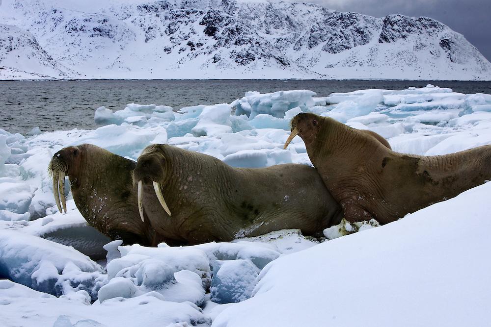 Áritco. Islas Svalbards.Morsas descansando..© JOAN COSTA
