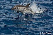 striped dolphin, Stenella coeruleoalba, jumping, Pelagos Sanctuary for Mediterranean Marine Mammals, Ligurian Sea, Mediterranean Sea, Italy
