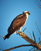 Osprey in a tree at Fort De Soto Park. Pinellas County, Florida Image taken with a Fuji X-T2 camera and 100-400 mm OIS lens (ISO 200, 400 mm, f/5.6, 1/420 sec).