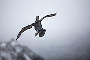 European Shag having a hard time to fly through a snowstorm at Hornøya, Norway | Toppskarven har en stor utfordring der den flyr gjennom snøstorm på Hornøya, Norge.