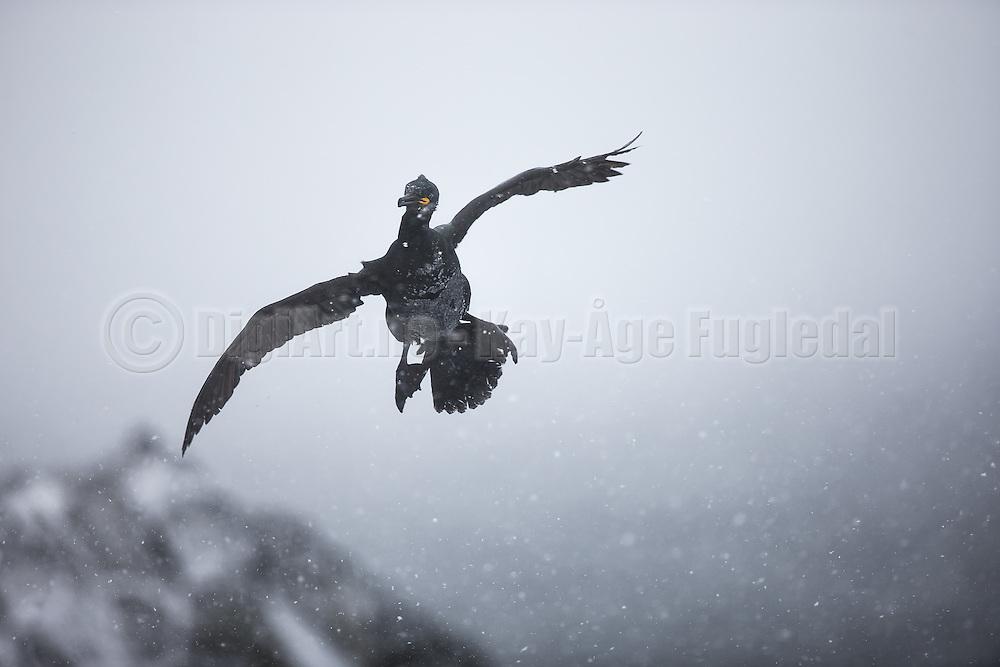 European Shag having a hard time to fly through a snowstorm at Hornøya, Norway   Toppskarven har en stor utfordring der den flyr gjennom snøstorm på Hornøya, Norge.