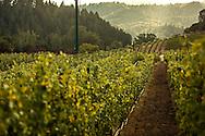 beringer chabot vineyard in saint helena, california