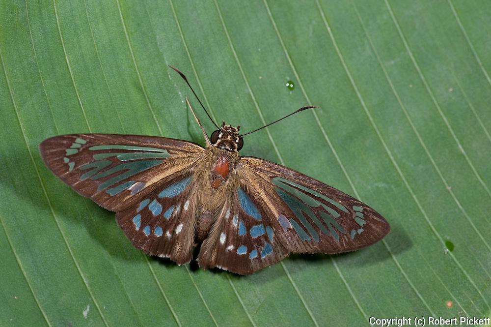Marshall's Ghost Skipper Butterfly, Phanus marshalli, Panama, Central America, Gamboa Reserve, Parque Nacional Soberania, resting on leaf