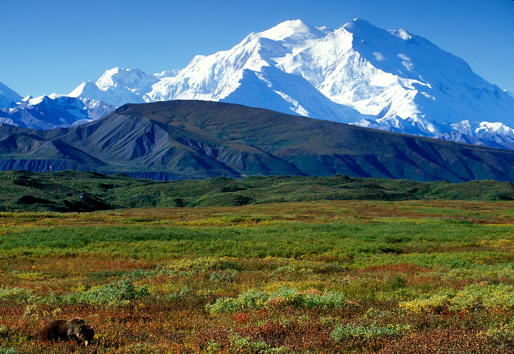 USA, Alaska, Denali National Park, Grizzly Bear (Ursus arctos) feeds on berries north with nearby Mount McKinley on fall morning