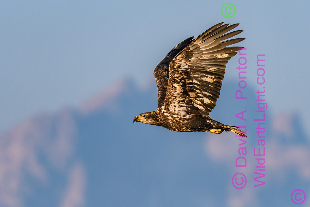 Juvenile bald eagle flies with the Grand Tetons in the background, Grand Teton National Park, © David A. Ponton