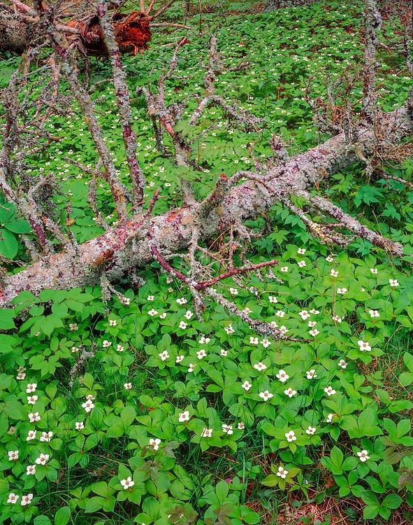 Bunchberries, spruce tree skeleton, forest, Schoodic Peninsula, Acadia National Park, ME