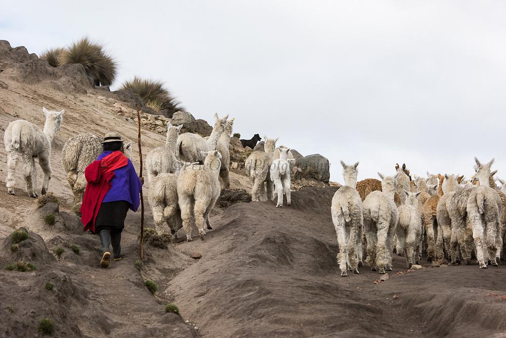Local Quichua Indian & alpaca (Vicugna pacos)<br /> Domestic herd<br /> near Chimborazo<br /> Ecuador, South America