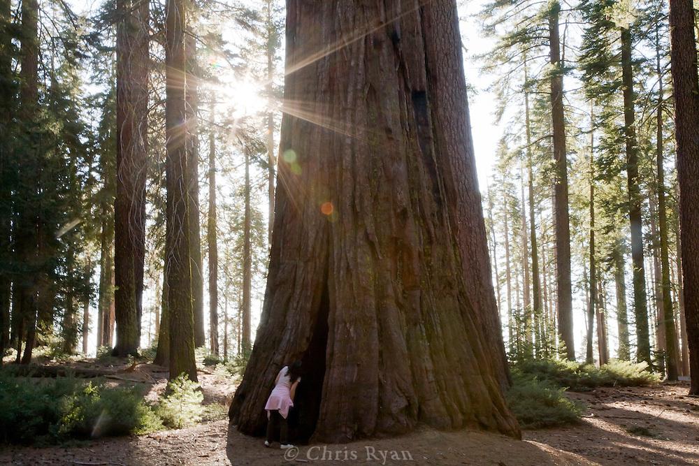 Visitor peering inside Giant Sequoia at Yosemite National Park, California, California