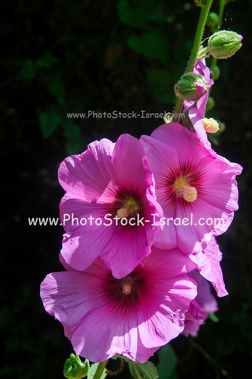 Bristly Hollyhock (Alcea setosa) Photographed in Israel in spring in May