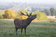 A red deer stag throws back its head to bellow shortly after sunrise during the rutting season in Windsor Great Park against a backdrop of Windsor Castle on 17 September 2020 in Windsor, United Kingdom. The deer park enclosure in Windsor Great Park is home to a herd of around 500 red deer descended from forty hinds and two stags introduced by the Duke of Edinburgh in 1979.
