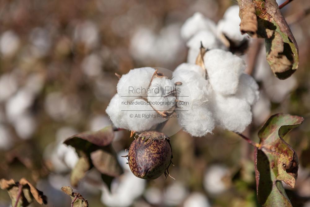 Cotton bolls ready for harvest at a farm outside Columbia, South Carolina.