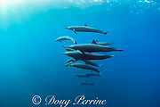 eastern spinner dolphins, Stenella longirostris orientalis, in open ocean offshore of southern Costa Rica, Central America ( Eastern Pacific Ocean )