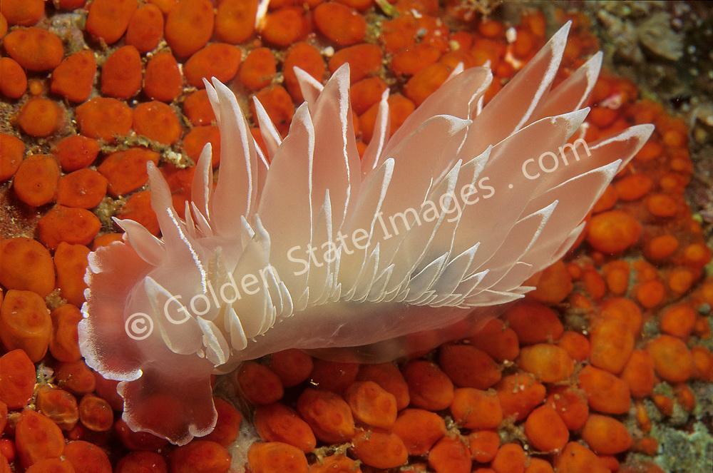 British Columbia<br />   <br /> Range: Alaska to San Diego California    <br /> <br /> Species: Dirona albolineata