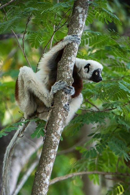 Coquerel's sifaka (Propithecus coquereli)<br /> Ampijoroa<br /> Ankarafantsika Nature Reserve<br /> West Madagascar<br /> MADAGASCAR<br /> ENDEMIC<br /> ENDANGERED
