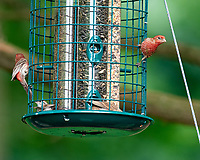 House Finch. Image taken with a Nikon D810a camera and 600 mm f/4 VR lens.